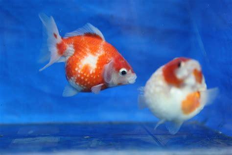 Daftar Keranjang Ikan daftar penyakit yang mengancam ikan koki 1 jitunews