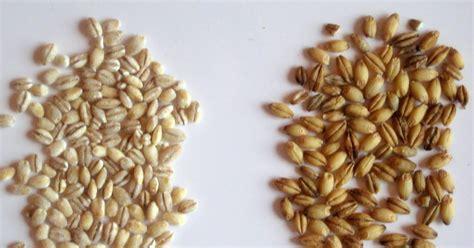 Pearl Barley 250 Gr the delicious pearled barley vs hulled barley and a whole grain primer
