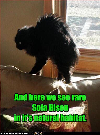 rare sofa bison   natural habitat