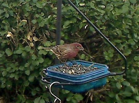 what does a house finch eat house finch habits what they eat where they nest mating