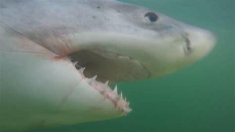 shark bites boat great white shark bites boat off hilton head wzzm13