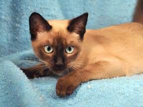 tonkinese colors tonkinese cat info personality care kittens