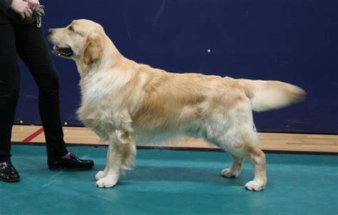 stormerick golden retrievers southern golden retriever society sgrs