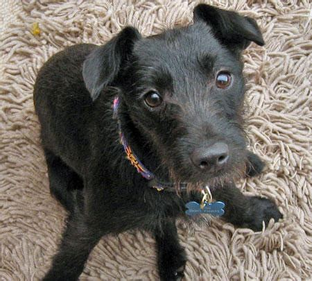 how to a terrier mix jess the patterdale terrier mix dogs daily puppy