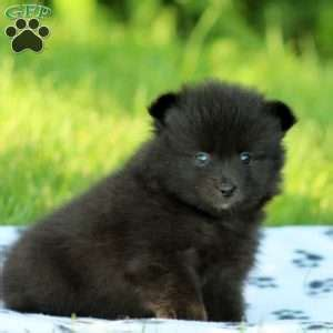 pomeranian puppies in nj pomeranian puppies for sale in de md ny nj philly dc and baltimore