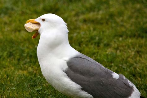 can seagulls eat bread can a seagull half a bagel whole apparently 171 san francisco citizen