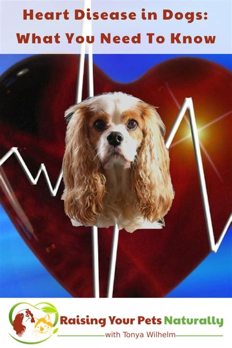 murmurs in dogs best 25 murmur ideas on cardiac nursing cardiovascular nursing and