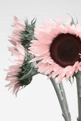 pink sunflowers images search 1000 ideas about pink sunflowers on beautiful