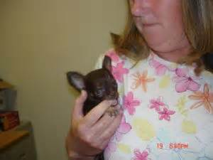 chihuahua puppies for sale in ohio cleveland chihuahua puppies in ohio