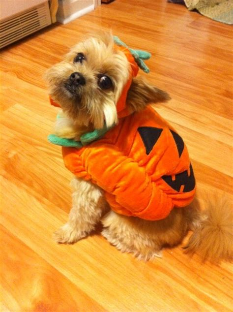 costumes for yorkies 36 yorkie costume ideas
