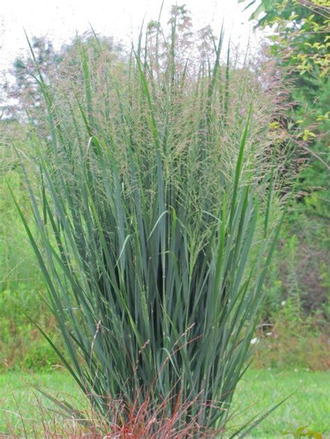 panicum virgatum switch grass northwind ornamental