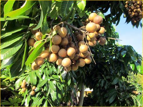 Jual Bibit Tanaman Buah Yogya jual bibit tanaman buah lengkeng 0878 55000 800 jual bibit tanaman buah 0878 55000 800