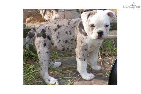 blue merle bulldog puppy meet a bulldog puppy for sale for 300 beautiful blue merle