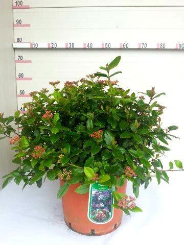 viburnum tinus vaso viburnum tinus gwellian produzione e vendita greggio vivai