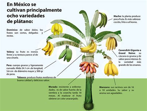 guide to six different types of bananas eight types of bananas are grown commercially in mexico
