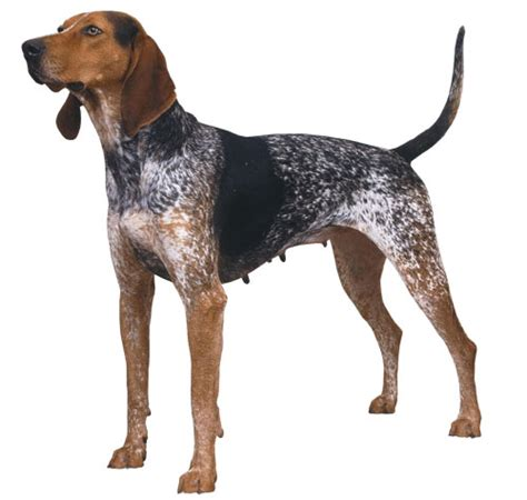 Coonhound Shedding by American Coonhound History Temperament