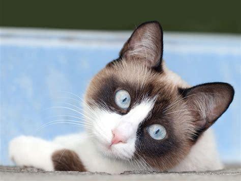 snowshoe images the snowshoe cat cat breeds encyclopedia