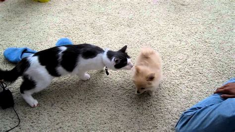 introducing a puppy to a cat shitsu puppies puppies puppy