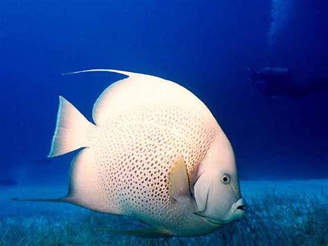 wallpaper bergerak ikan hias koleksi gambar ikan hias cantik 2013 gambar keren dan