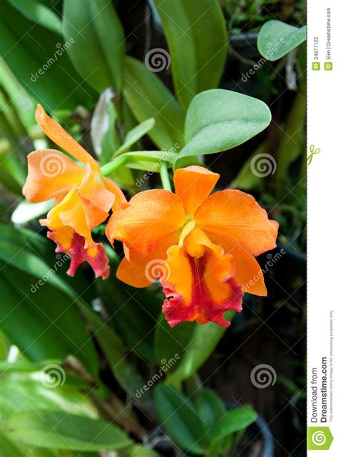 Thai Orchid Garden by Blossoming Flower Orchid Thai Garden Stock Photography