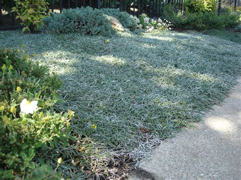 drought tolerant ground cover plants landscaping bay area