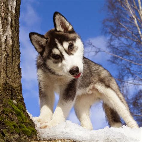 husky puppy pictures white wolf 15 husky puppy pictures are going to make your day
