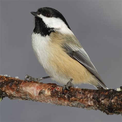 black capped chickadee poecile atricapilla