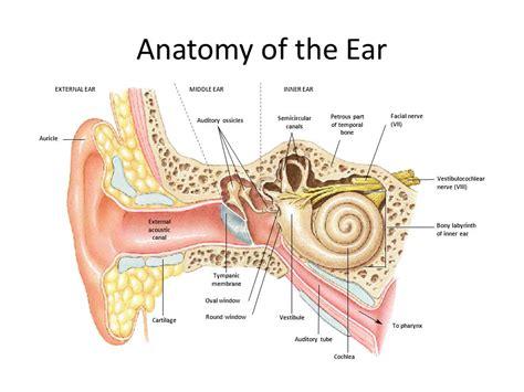 anatomy of the outer ear diagram external ear anatomy gidiye redformapolitica co