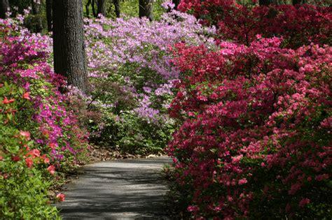 wann schneidet rhododendron azaleen 187 pflanzen pflegen schneiden und mehr