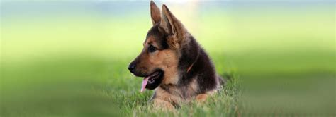 german shepherd puppies salem oregon german shepherd in oregon dogs in our photo