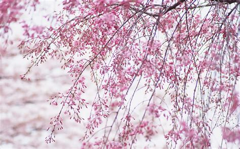 cherry blossoms images wallpapers cherry blossom