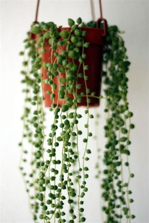 best indoor hanging plants succulent rosary beads wedding pinterest beautiful