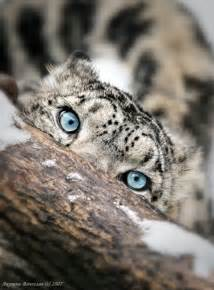 Snow leopard animals photos