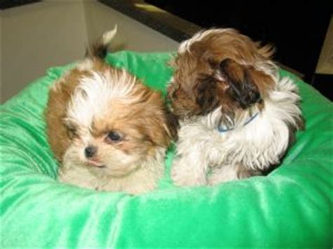 shih tzu puppies for sale buffalo ny shih tzu puppies in new york