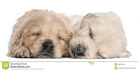 4 week golden retriever golden retriever puppies 4 weeks asleep royalty free stock photos image 18673538