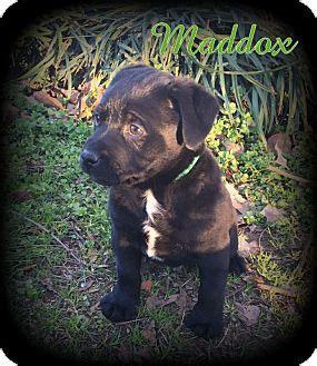 shih tzu rescue australia denver nc australian shepherd shih tzu mix meet maddox a puppy for adoption