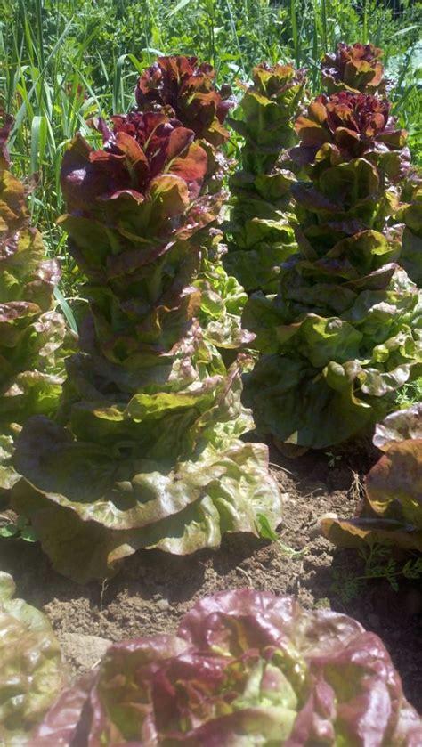 shade garden vegetables garden vegetables colorado garden