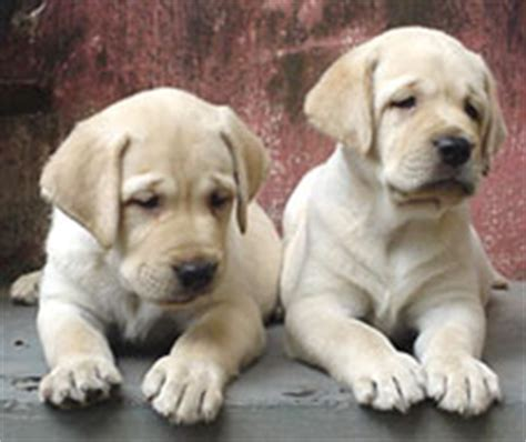 7 week lab puppy picture of the week page 3