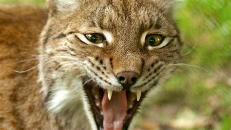 le les le lynx zoo de la bourbansais zoo rennes 35