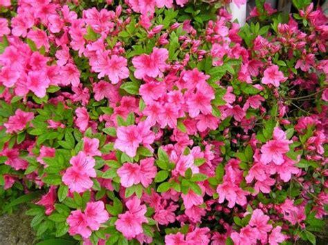 Pupuk Bunga Raya menanam dan budidaya bunga azalea satu jam