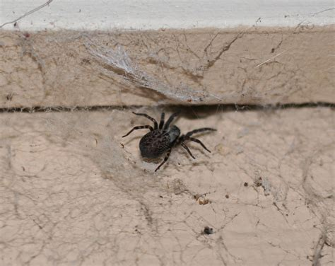 are house spiders dangerous the gallery for gt are black house spiders poisonous