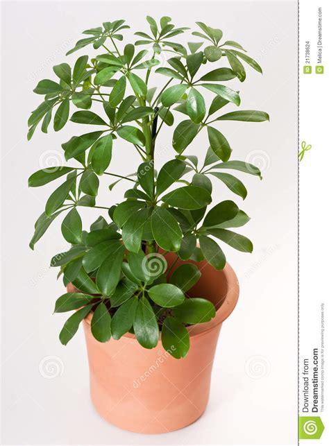 in door plants pot video three four plants argements schefflera house plant stock images image 21738624