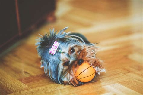 caring for yorkies caring for a terrier facts you should