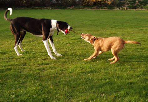 tug of war with puppy tug of war greyhound cross standing firm whilst smalle flickr photo