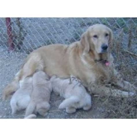 golden retriever breeder nc golden retriever breeders in carolina freedoglistings