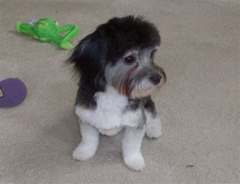 haircuts for havanese yorkie poodle haircuts hairstylegalleries