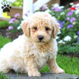 poo puppies for sale in pa poo puppies for sale in pa