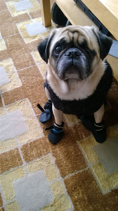 boots for pugs 17 best images about pugs in socks and shoes on warm posts and olives