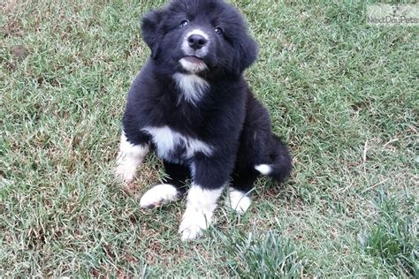 amarillo puppies newfoundland puppies for 20 00 breeds picture