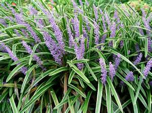 aa tex lawn news to know winter pruning of ornamental grasses